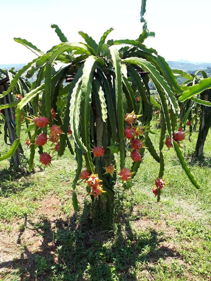 εγκατασταση dragon fruit αυλη